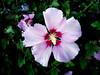 Hibiscus-Syriacus-Woodbridge-2003-09-05-0001