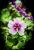 Larchmont Hibiscus