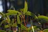 Eucalyptus-Red Cap Gum-2009-02-06-0001