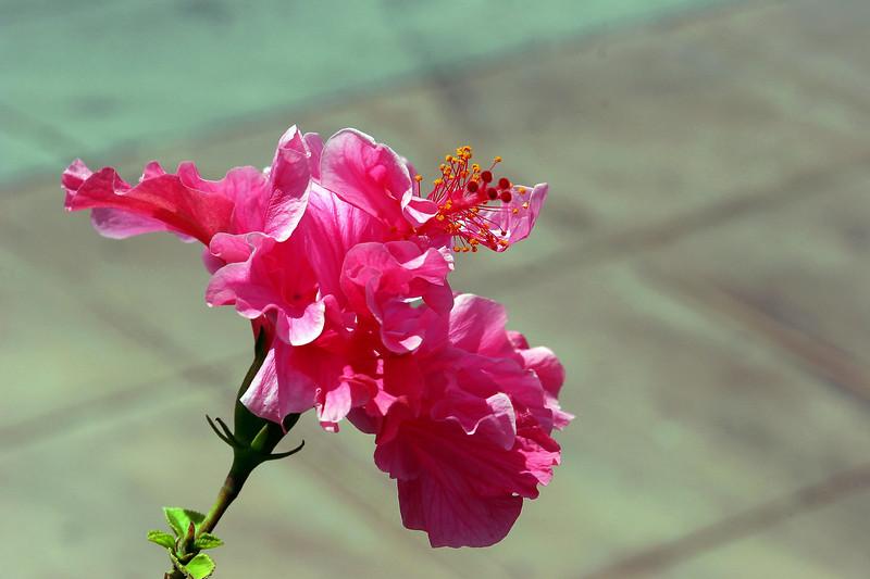 Hibiscus-Mutabilis-2006-04-09-0003