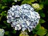 Hydrangea-Candytuft-2005-06-28-0001