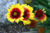 Gaillardia-Grandiflora Kobold-Blanket Flower-2006-09-14-0001