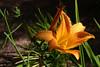 DayLily-Golden Pixie-2007-04-15-0002