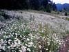 Daisy-Shasta-2005-06-28-0003
