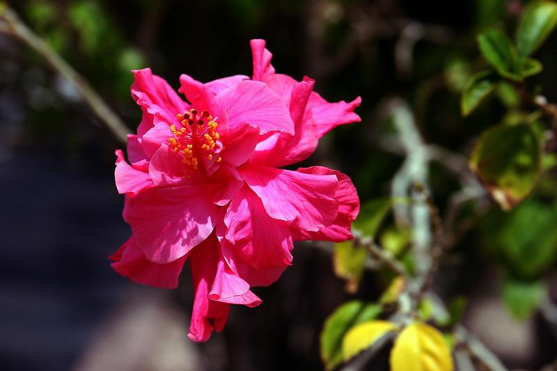 Hibiscus-Mutabilis-2006-04-09-0001
