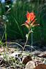 V-Desert Paintbrush-[Castilleja Chromosa]-2007-08-19-0001