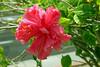 Hibiscus-Mutabilis-2006-04-09-0002