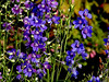 Forget-Me-Not-2003-08-01-0001