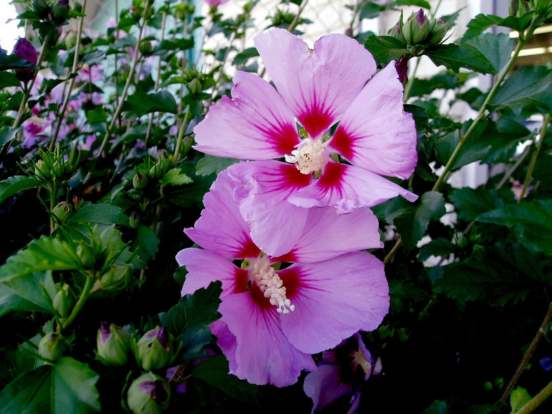 Hibiscus-Syriacus-Woodbridge-2003-09-05-0002