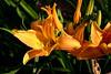 DayLily-Golden Pixie-2007-04-15-0003