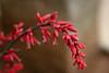 HesperAloe-Red-2006-04-21-0001