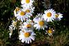 Daisy-Shasta-2005-06-28-0001