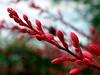 HesperAloe-Red-2005-05-01-0001