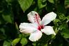 Hibiscus-Arnottianus-2006-04-09-0004