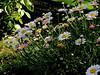 Daisy-Oxeye-2003-08-01-0001