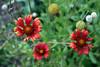 Gaillardia-Blanket Flower-2006-09-14-0001