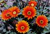 Daisy-2006-04-09-0005