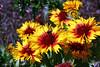 Gaillardia-Grandiflora Kobold-Blanket Flower-2006-09-07-0001