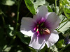 """Hibiscus, Rose of Sharon-2006-05-14-0001  <font color=""""Yellow""""> My thanks for the ID Information from </font> <a href=""""http://ljn335.smugmug.com/"""">  Leslie </a>."""