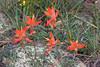 Desert Indian Paintbrush-2008-09-02-0001