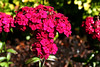 """Dianthus-2006-09-07-0001  <font color=""""Yellow""""> My thanks for the ID Information from </font> <a href=""""http://karinaboese.smugmug.com/"""">  Karina Boese </a>."""