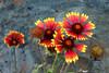 Gaillardia-Grandiflora Cultivar-Blanket Flower-2006-09-14-0001