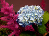 Hydrangea-Candytuft-2005-06-28-0002