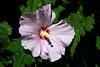 Hibiscus-Syriacus-Cultivar-2005-08-24-0002