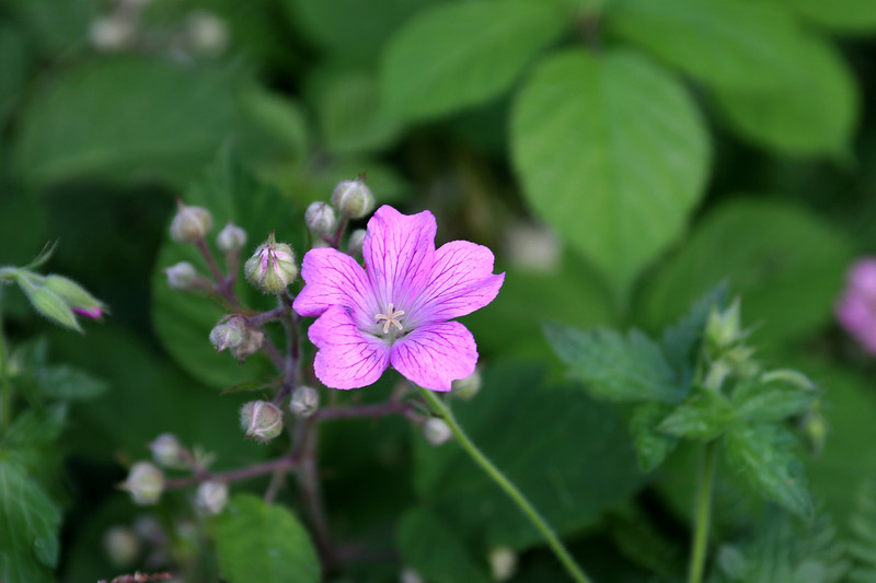 """Geranium-2005-06-30-0001  <font color=""""Yellow""""> My thanks for the ID Information from </font> <a href=""""http://amkphoto.smugmug.com"""">  Arlene  </a>."""