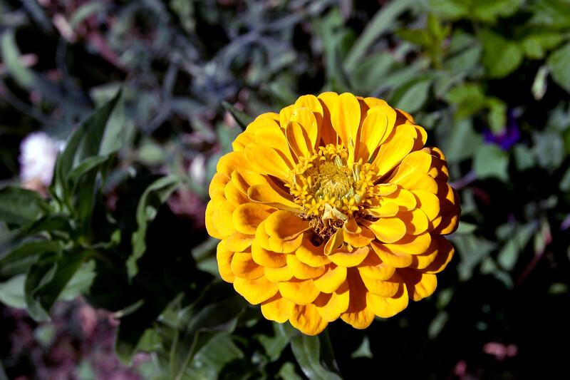 Dahlia-2005-08-20-0001