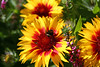 Gaillardia-Grandiflora Kobold-Blanket Flower-2006-09-07-0002