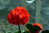Geranium-2006-02-04-0002