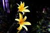 DayLily-Golden Wonder-2005-06-28-0001