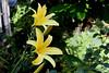 DayLily-Golden Wonder-2005-06-28-0002