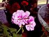 Geranium-2004-03-14-0001