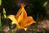 DayLily-Golden Pixie-2007-04-15-0004