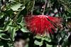 Fairy Duster-2007-05-26-0001