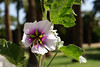 """Hibiscus, Rose of Sharon-2006-05-14-0002  <font color=""""Yellow""""> My thanks for the ID Information from </font> <a href=""""http://ljn335.smugmug.com/"""">  Leslie </a>."""