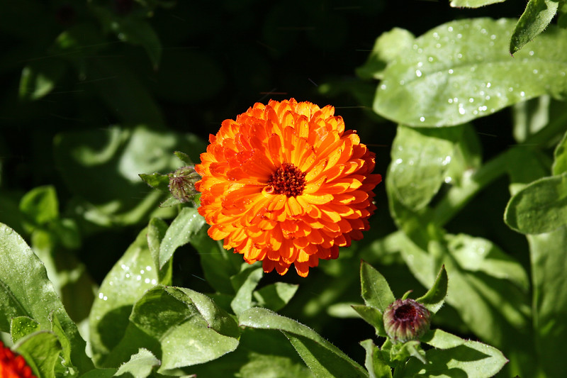 """Marigold, Pot-2006-09-07-0001  <font color=""""Yellow""""> My thanks for the ID Information from </font> <a href=""""http://karinaboese.smugmug.com/"""">  Karina Boese </a>."""