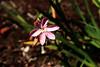 Lily-Kaffir-2006-09-07-0004