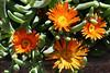 Ice Plant-2006-04-23-0001