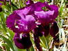 Douglas's Iris-2004-03-14-0001