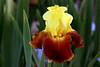 Iris-ASU Jazz-2005-04-11-0001