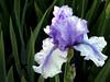 Iris-Bye Bye Blue-2005-04-11-0001