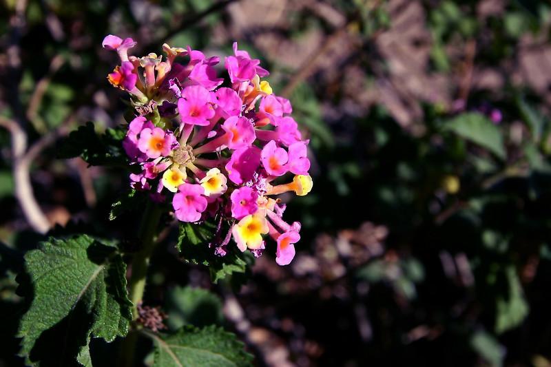 Lantana-Yellow Bush-2005-11-13-0002