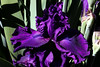 Iris-Black Grapes-2005-04-11-0001