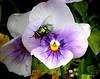 Larkspur Violet-2003-12-07-0001