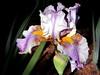 Iris-Becky Ann-2005-04-11-0001