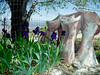 Douglas's Iris-2004-03-14-0002