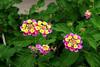 Lantana-Yellow Bush-2005-05-01-0001